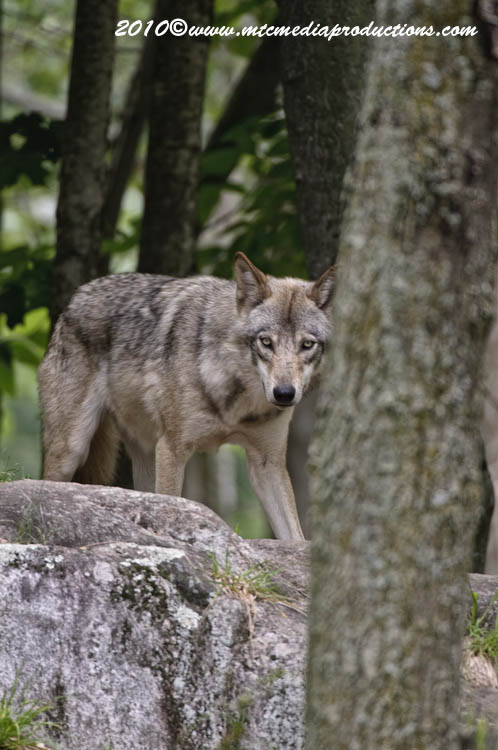 Timber Wolf Picture-335