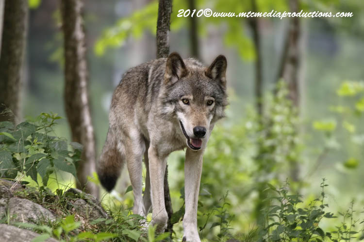 Timber Wolf Picture-336