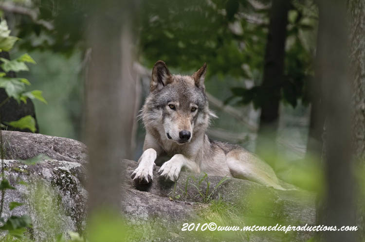 Timber Wolf Picture-337