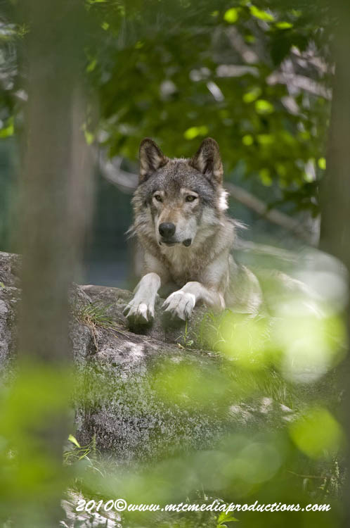 Timber Wolf Picture-338