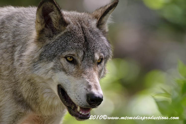 Timber Wolf Picture-339