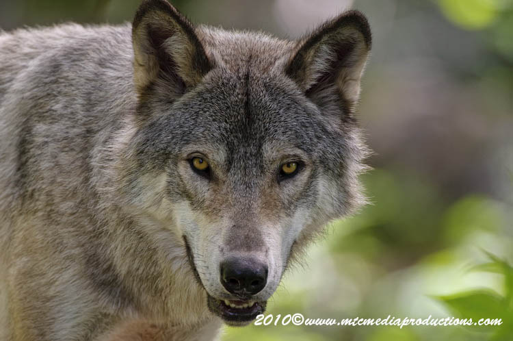 Timber Wolf Picture-340