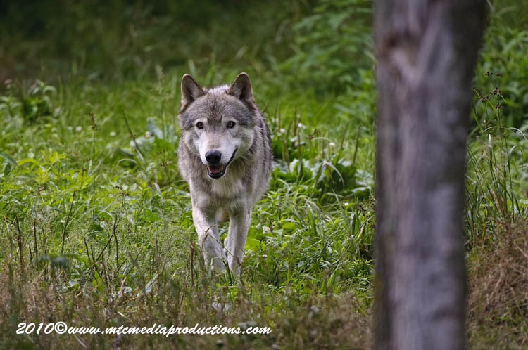 Timber Wolf Picture-341