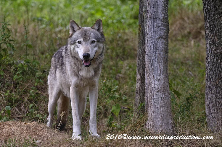 Timber Wolf Picture-342