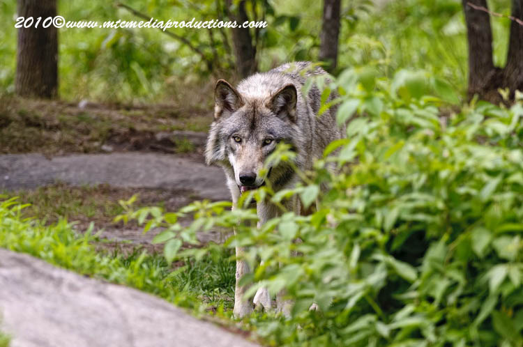 Timber Wolf Picture-343
