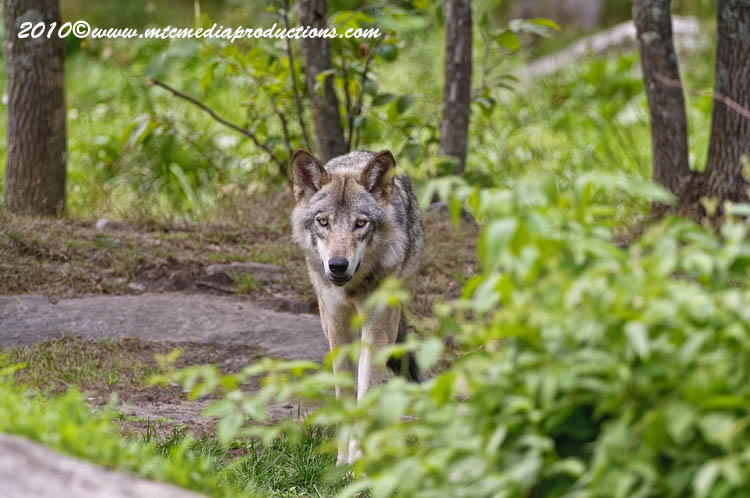 Timber Wolf Picture-344