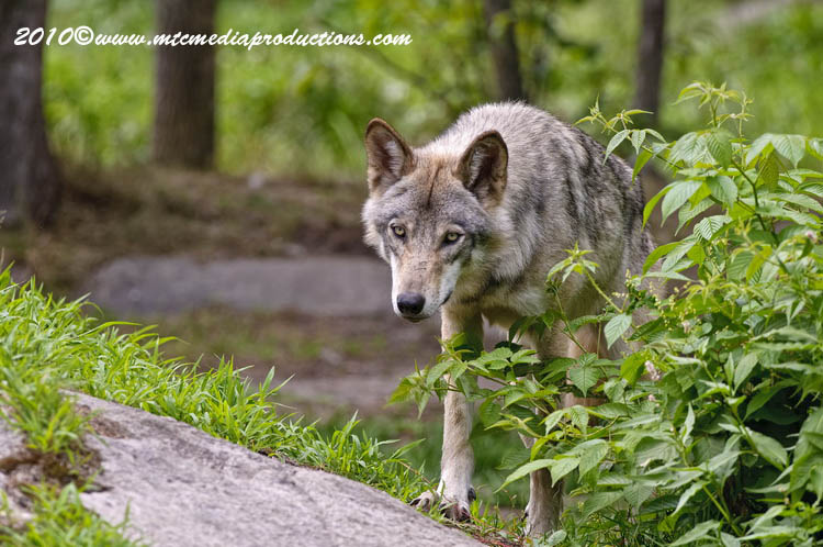 Timber Wolf Picture-345
