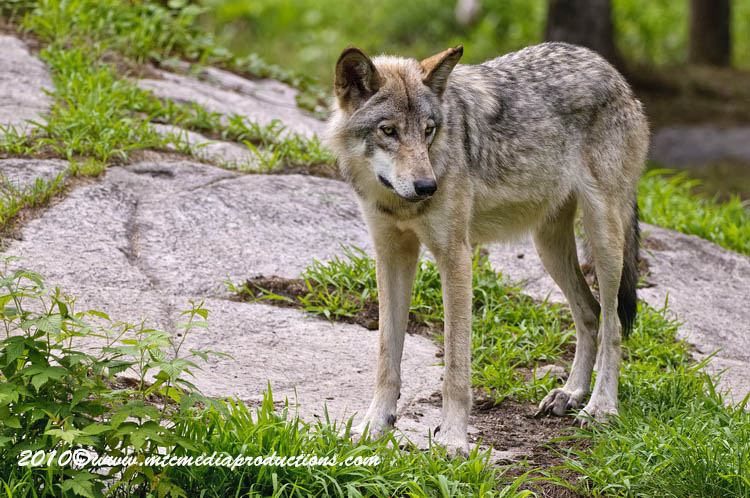 Timber Wolf Picture-346