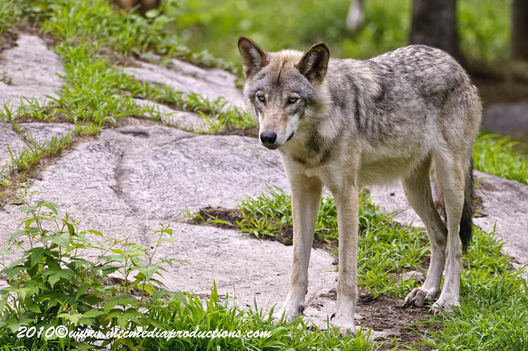 Timber Wolf Picture-347