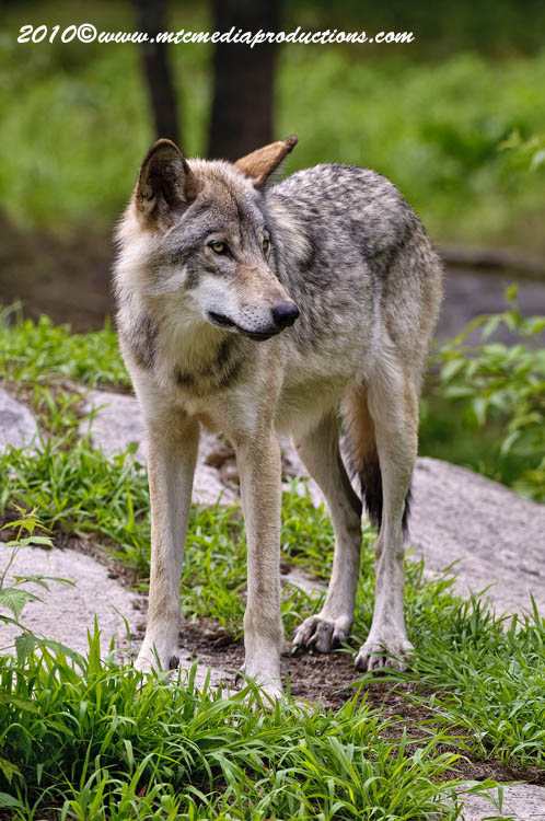 Timber Wolf Picture-348