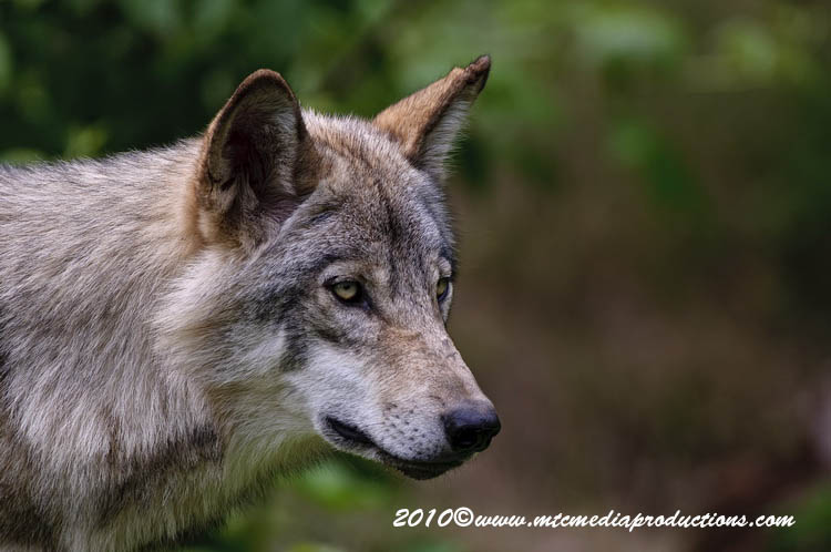 Timber Wolf Picture-350