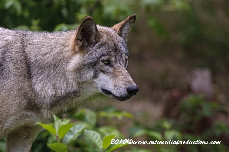 Timber Wolf Picture-351