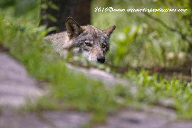 Timber Wolf Picture-352