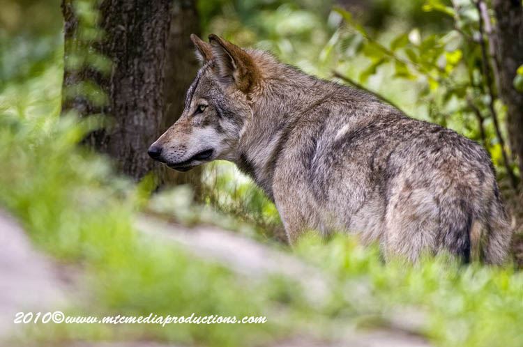 Timber Wolf Picture-353
