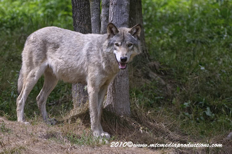 Timber Wolf Picture-354