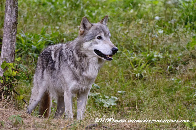 Timber Wolf Picture-355