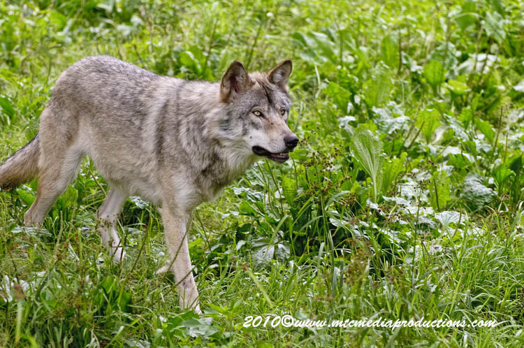 Timber Wolf Picture-356