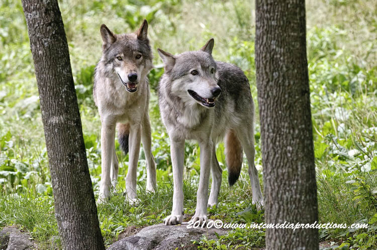 Timber Wolf Picture-357
