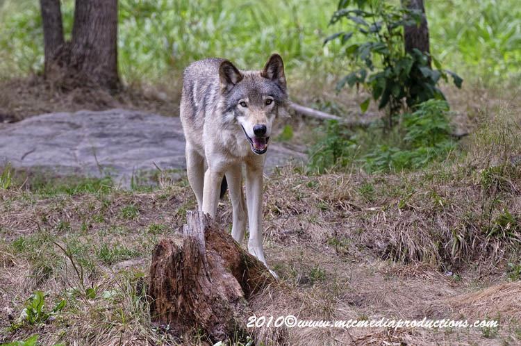 Timber Wolf Picture-358