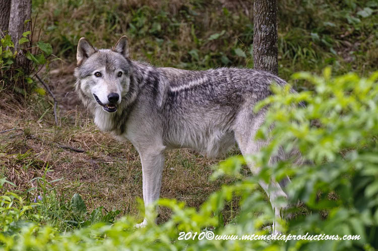 Timber Wolf Picture-359