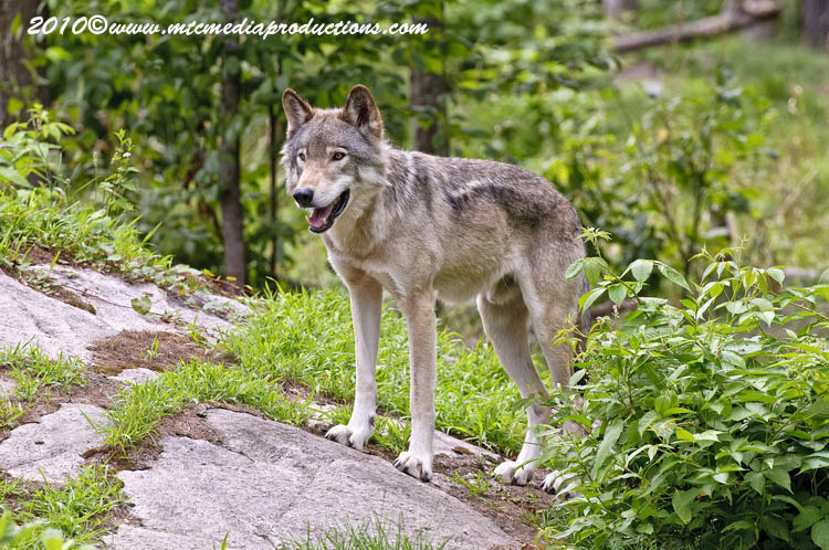 Timber Wolf Picture-360