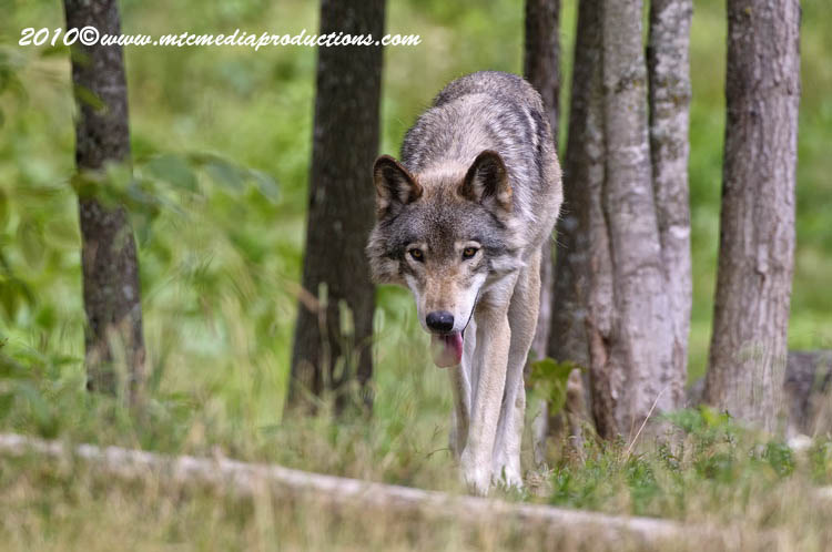 Timber Wolf Picture-363