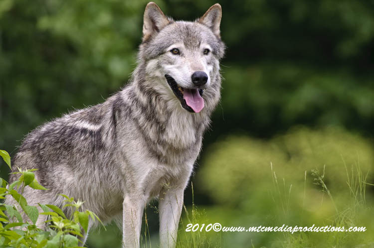 Timber Wolf Picture-364