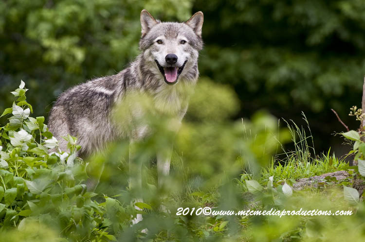 Timber Wolf Picture-365