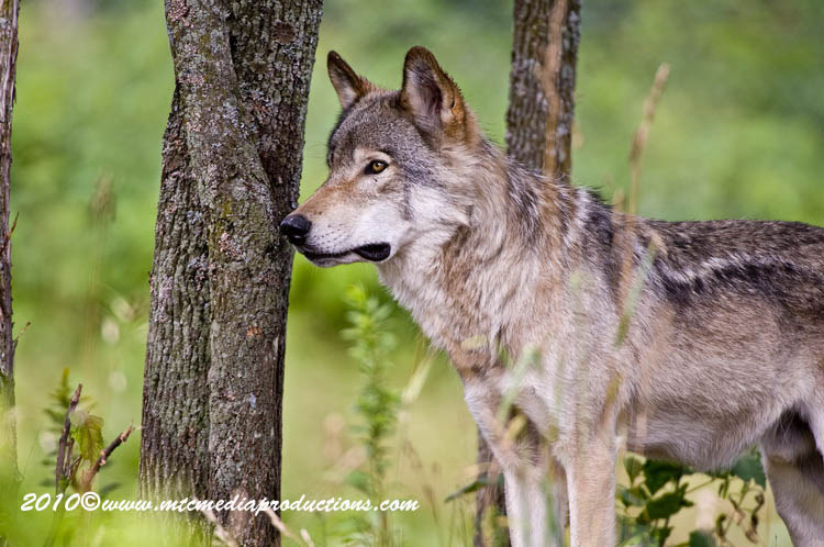 Timber Wolf Picture-366