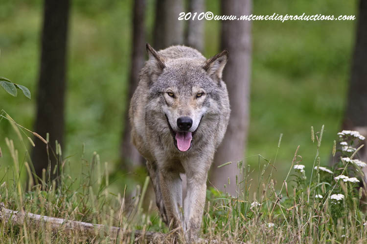 Timber Wolf Picture-367
