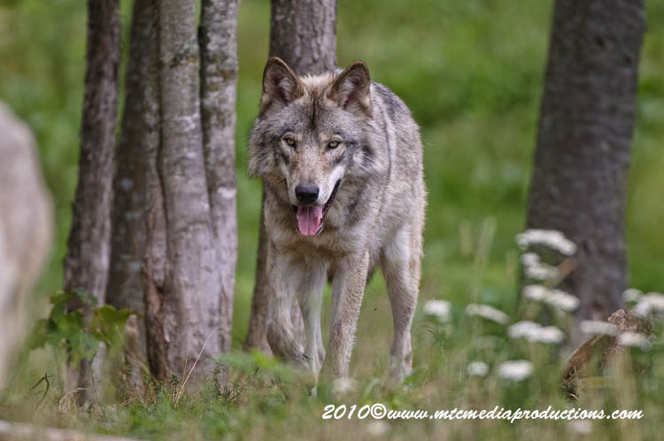 Timber Wolf Picture-368