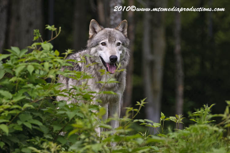 Timber Wolf Picture-370