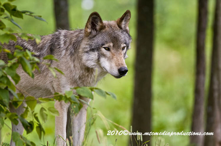 Timber Wolf Picture-371