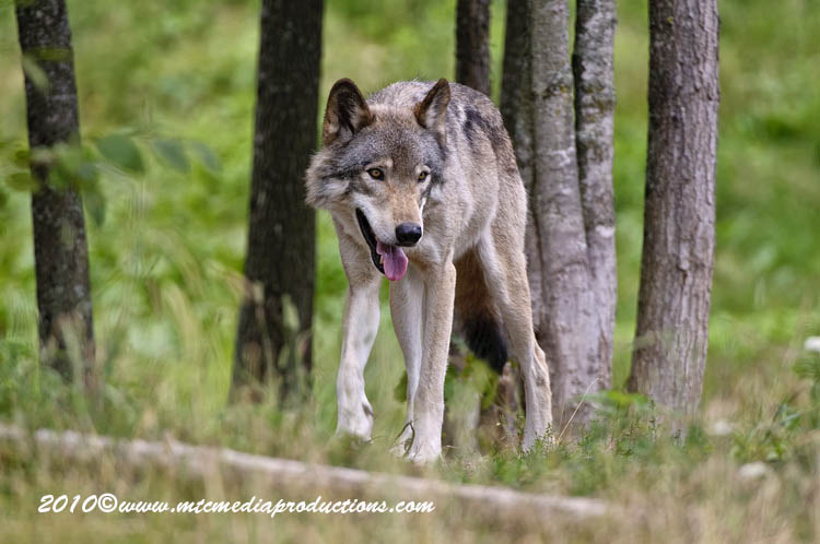 Timber Wolf Picture-372