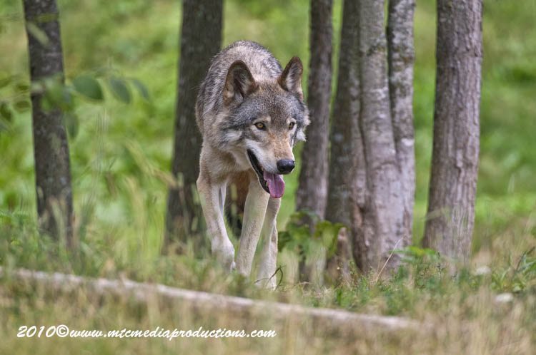 Timber Wolf Picture-373