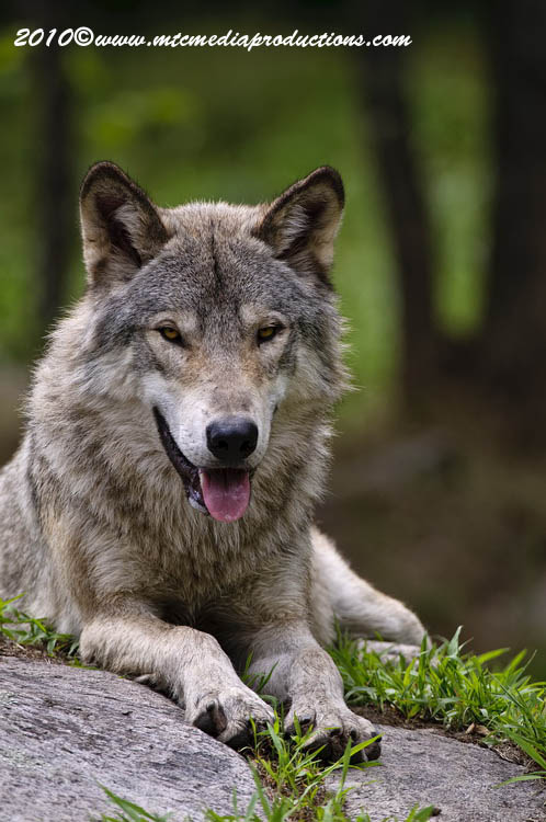 Timber Wolf Picture-375