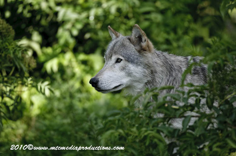 Timber Wolf Picture-376