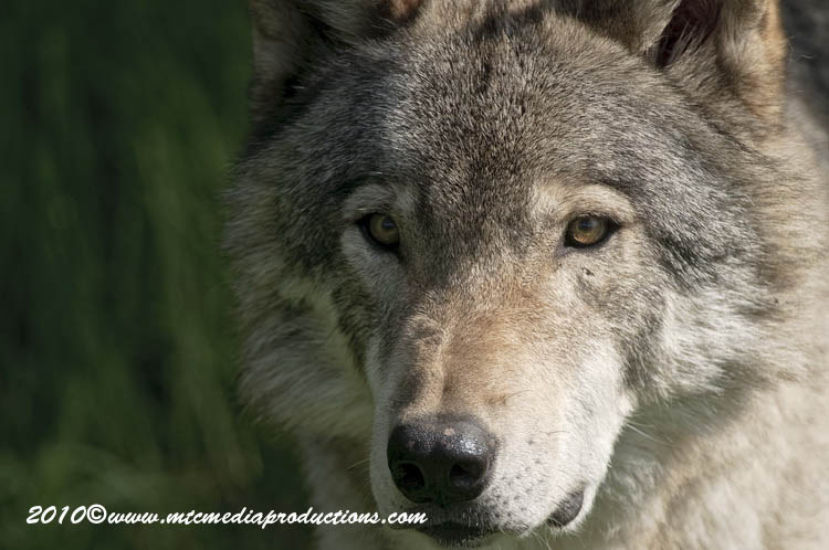 Timber Wolf Picture-377