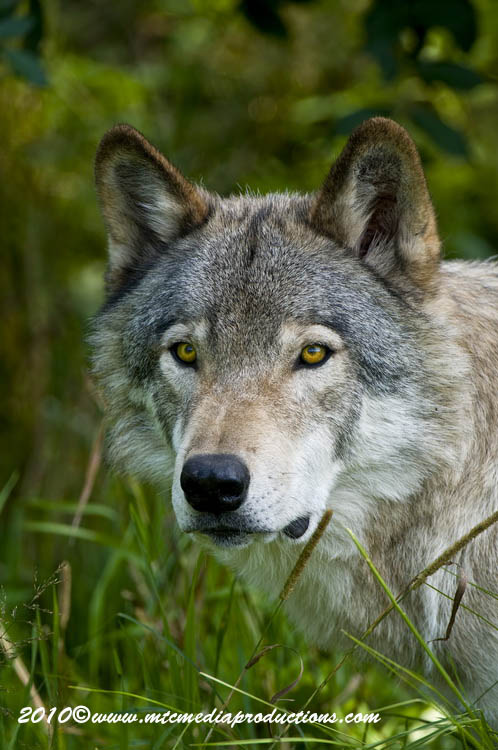 Timber Wolf Picture-378