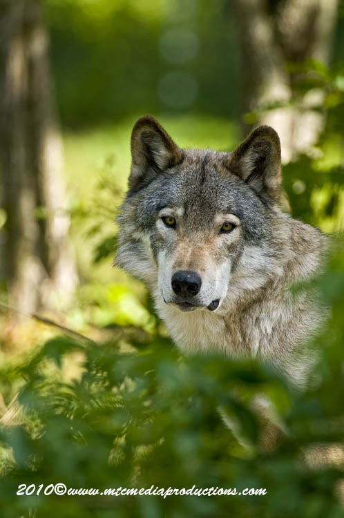 Timber Wolf Picture-379