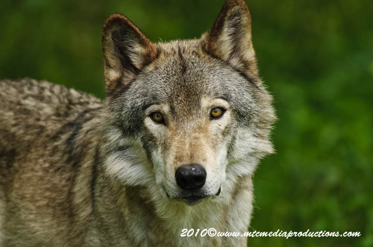 Timber Wolf Picture-380