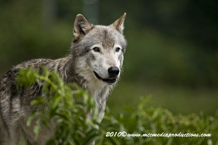 Timber Wolf Picture-381