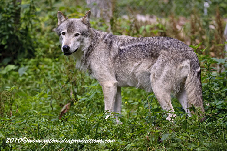 Timber Wolf Picture-382