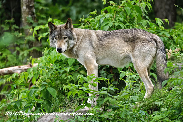 Timber Wolf Picture-383