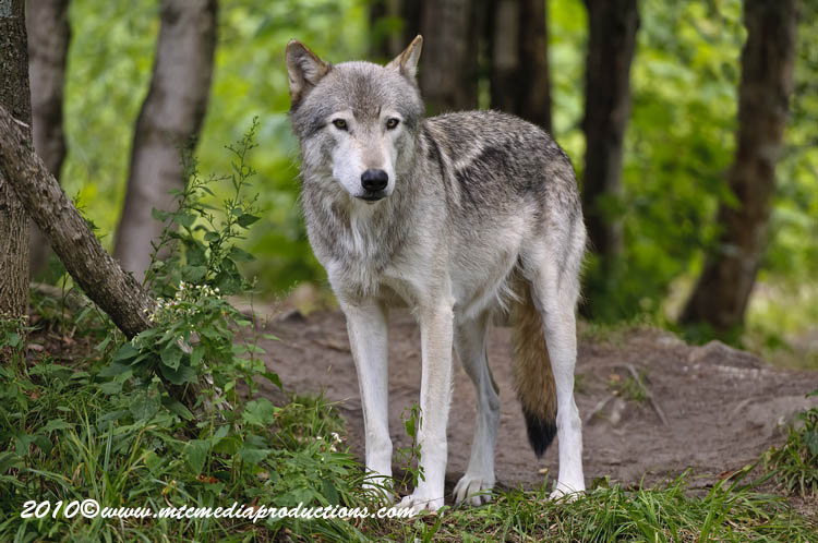 Timber Wolf Picture-384