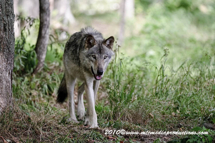 Timber Wolf Picture-385