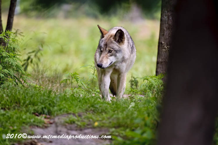 Timber Wolf Picture-386
