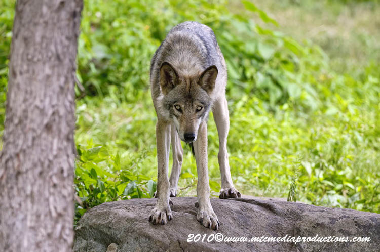 Timber Wolf Picture-387