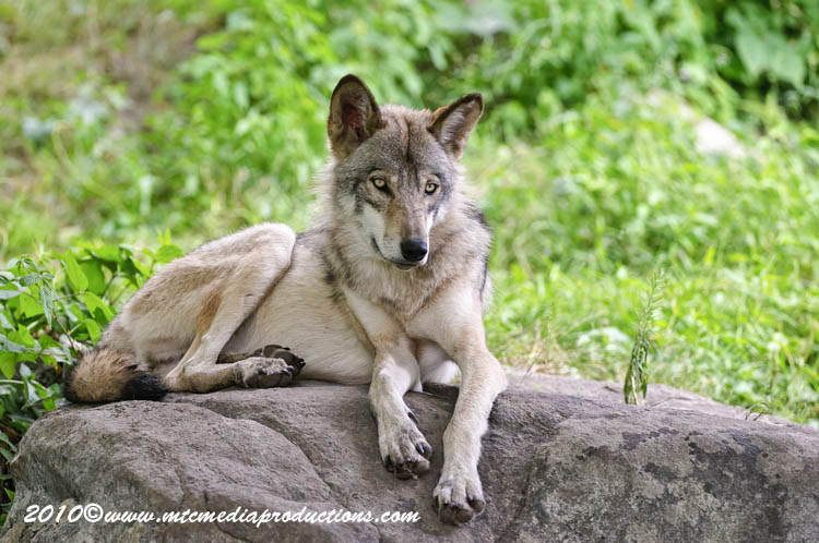 Timber Wolf Picture-388