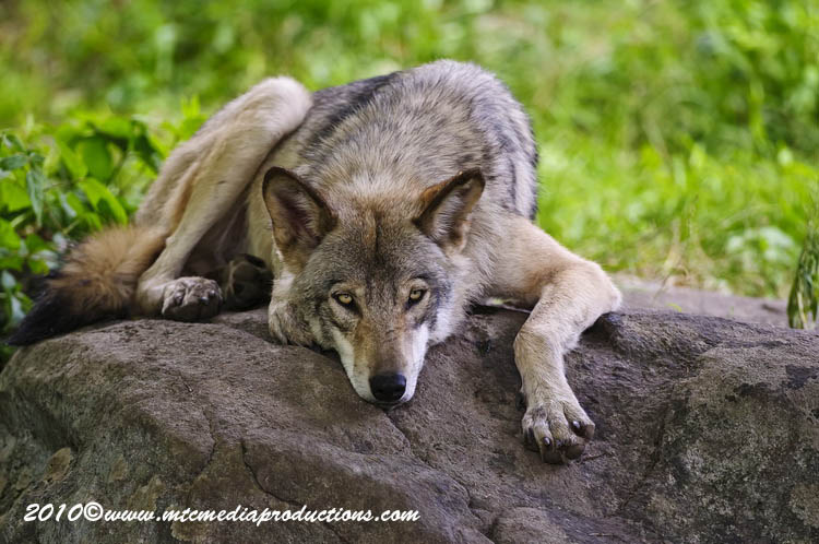 Timber Wolf Picture-389